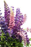 Bouquet of lupines, Royalty Free Stock Photography