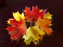 Bouquet made of bright maple leaves Stock Photography