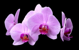 Bouquet of magenta orchids Royalty Free Stock Images