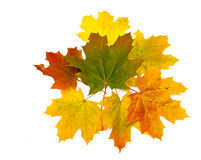 Bouquet of maple leaves Stock Photos