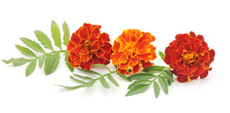 Bouquet of marigolds. Stock Image