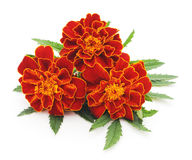 Bouquet of marigolds. Royalty Free Stock Photos