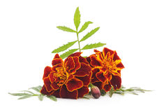 Bouquet of marigolds. Royalty Free Stock Image