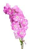 Bouquet Matthiola Incana flower isolated on White. Royalty Free Stock Photo