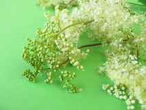 Bouquet of meadowsweet Royalty Free Stock Photos