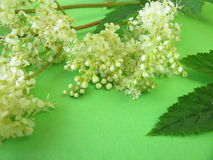 Bouquet of meadowsweet Stock Images