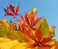 Bouquet of milticolor leaves Royalty Free Stock Image