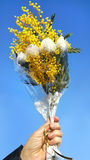 Bouquet of mimosa in hand Royalty Free Stock Photo