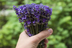 Bouquet of mountain lavender in the hand Stock Images