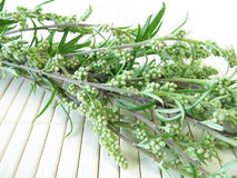 Bouquet of mugwort Stock Photos