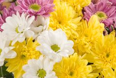 Bouquet of multi-colored chrysanthemums. White, yellow, pink Royalty Free Stock Photos