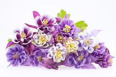 Bouquet of multi-colored flowers of Aquilegia vulgaris Royalty Free Stock Image