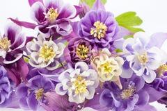 Bouquet of multi-colored flowers of Aquilegia vulgaris Stock Images