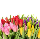 Bouquet of multicolor tulips over white background Stock Photography