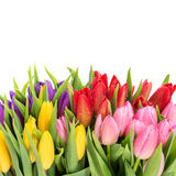 Bouquet of multicolor tulips with water drops Stock Photos