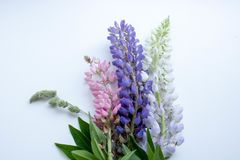Bouquet multicolore des lupins sur un postcsrd blanc de fond photo libre de droits