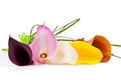 Bouquet of multicolored calla lily Stock Images