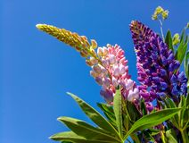 Bouquet of multicolored lupins against the blue sky royalty free stock photo