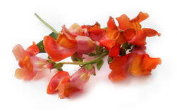 Bouquet of multicolored snapdragons Royalty Free Stock Image