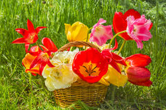 Bouquet of multicolored tulips in a basket, backlit Stock Image