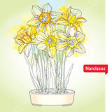 Bouquet with narcissus flower or daffodil in round pot on the background with blots in pastel color Stock Photos