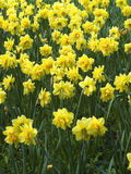 Bouquet of narcissuses Royalty Free Stock Photos
