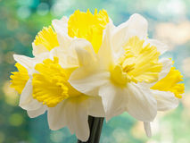Bouquet of narcissuses Royalty Free Stock Photography