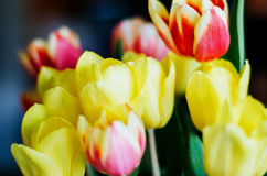 Bouquet of natural colorful tulips. Royalty Free Stock Image