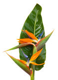 Bouquet o strelitzia flowers Royalty Free Stock Image