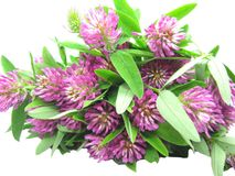 Bouquet Of Field Clover Flowers Royalty Free Stock Photos