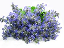 Bouquet Of Field Violet Flowers Royalty Free Stock Photo