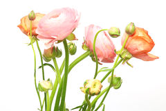 Free Bouquet Of Persian Buttercup Stock Photos - 67716873
