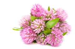 Bouquet Of Red Clover Royalty Free Stock Photo