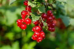 Free Bouquet Of Red Currant Berries Ribes Rubrum On A Branch With Leaves Close-up Stock Image - 156717281