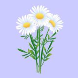Bouquet Of Three Chamomiles Royalty Free Stock Images