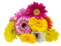 Bouquet Of Transvaal Daisy Stock Photography