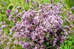 Bouquet Of Wild Marjoram Stock Photography