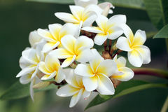 Free Bouquet Of Yellow Plumeria Or Frangipani Flower. Stock Photography - 39458962