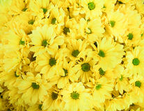 Bouquet ofof yellow chrysanthemums. A lot of yellow chrysanthemums in the summer Royalty Free Stock Photos