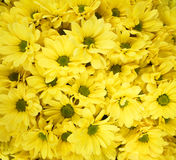 Bouquet ofof yellow chrysanthemums. A lot of yellow chrysanthemums in the summer Stock Photography
