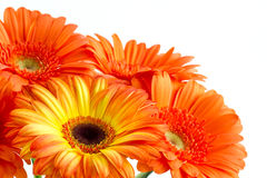 The bouquet of opange gerbera. The bouquet of orange gerbera on a white backrground Stock Image