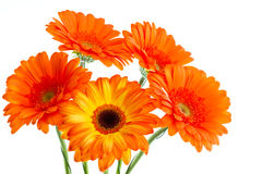 The bouquet of opange gerbera. The bouquet of orange gerbera on a white backrground Stock Images
