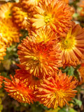 Bouquet of orange autumn chrysanthemums. Close-up Royalty Free Stock Photos