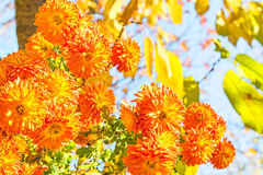 Bouquet of orange chrysanthemums in an autumn garden Royalty Free Stock Images