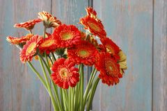 Bouquet of orange gerbera daisies royalty free stock image