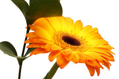 Bouquet of orange gerbera and green branch. Isolated Stock Photography