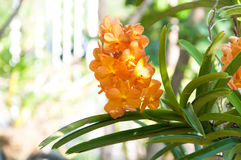 Bouquet of orange orchids flower close up under natural lighting outdoor Royalty Free Stock Images