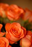 Bouquet of orange roses. A bouquet of orange roses Royalty Free Stock Image