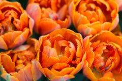 Bouquet of orange tulips Stock Photo