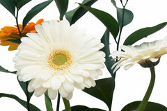Bouquet of orange and white gerbera and green branch. Stock Photo